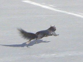 Squirrel running across the parking lot.